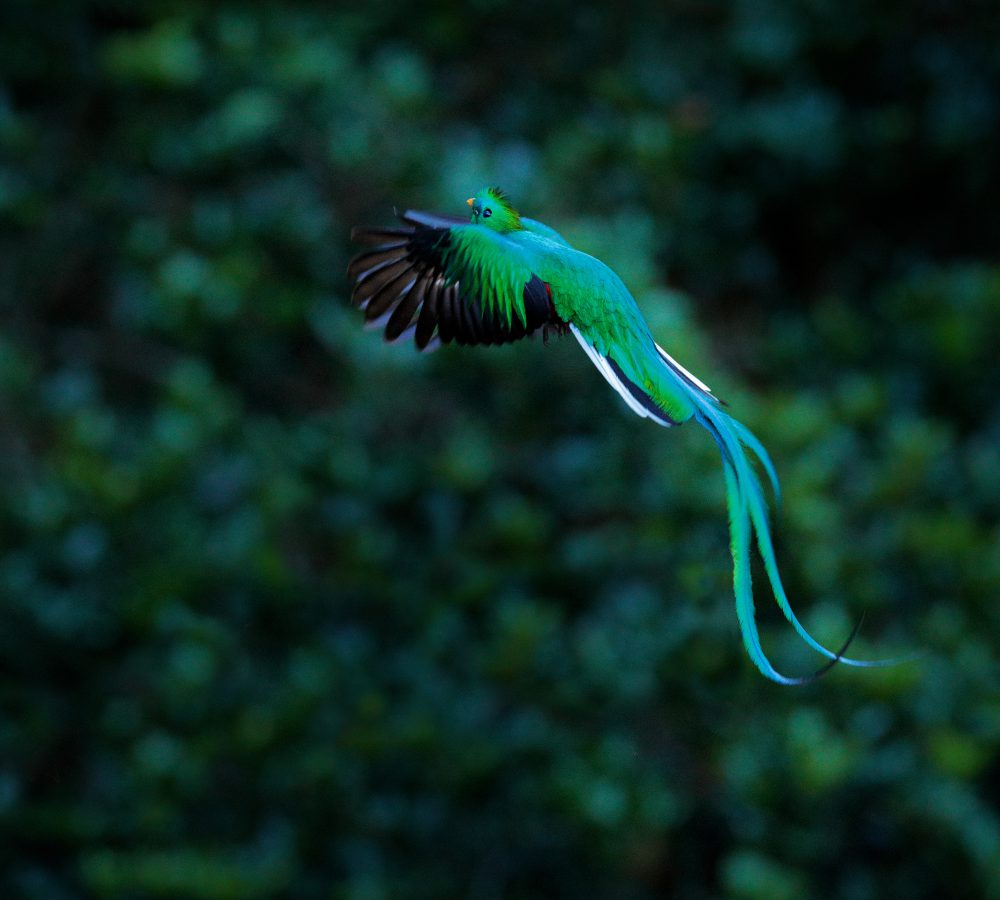 Resplendent Quetzal flying , Pharomachrus mocinno, Savegre in Costa Rica, with green forest background. Magnificent sacred green and red bird. Action fly moment with Resplendent Quetzal. Birdwatching